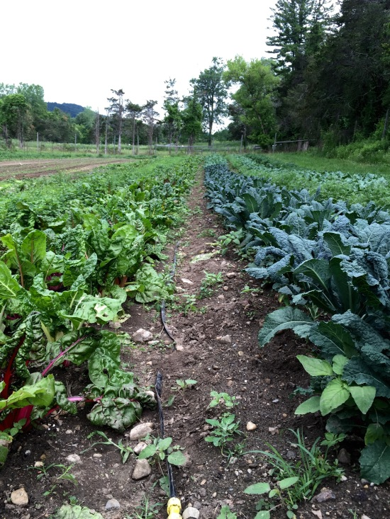 Tuscano Kale Growing Next to Swiss Chard
